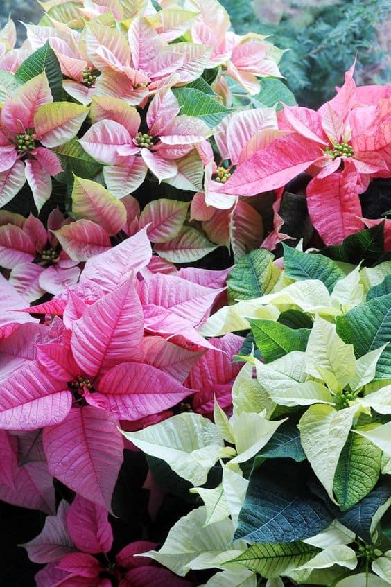 Come Salvare La Stella Di Natale Guida Giardino