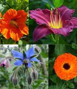 8 fiori commestibili: come utilizzarli in cucina e come coltivarli