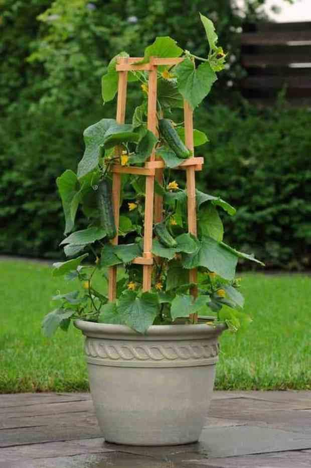 i cetrioli per crescere bene hanno bisogno di un sostegno robusto