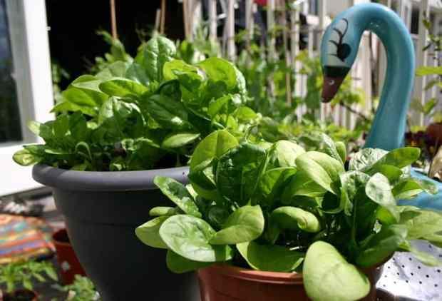 gli spinaci sono ortaggi perfetti da coltivare in vaso