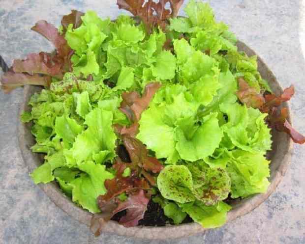 la lattuga è molto semplice da coltivare in vaso