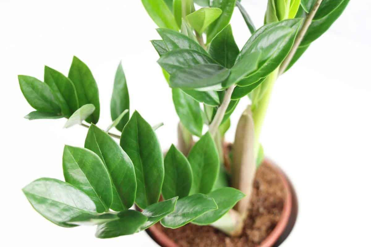Pianta Da Ufficio Poca Luce piante d'appartamento a bassa manutenzione - guida giardino