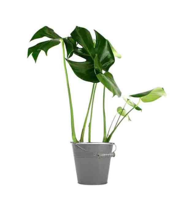 Sapevate che il filodendro è la pianta dalle foglie a forma di cuore? E che si tratta di una pianta rampicante che può percorrere tranquillamente grandi distanze?