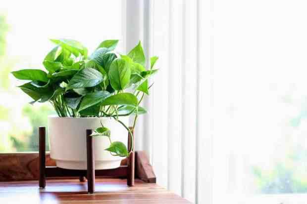 Il potos si adatta facilmente alle condizioni ambientali di qualsiasi ambiente, ha una crescita molto forte ed è dotato di foglie spesse molto spesse e colorate