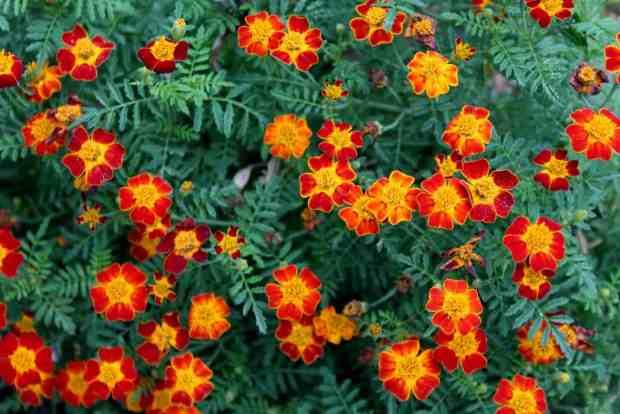 calendula, un fiore che tiene lontano zanzare e parassiti dall'orto