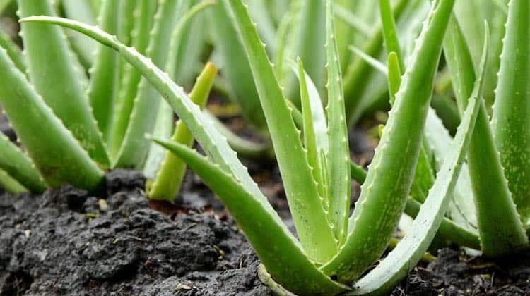 una bella  pianta di Aloe, viva e rigogliosa, può essere una preziosa alleata per la vostra pelle
