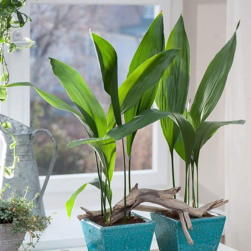 L'Aspidistra ha una crescita lenta e preferisce poca luce, temperature elevate e  un'umidità elevata, che la rendono un'ottima scelta anche per il bagno