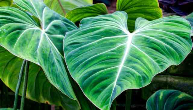 il Filodendro ha foglie lucide e a forma di cuore che saliranno o scenderanno naturalmente e sono facili da domare in ogni caso