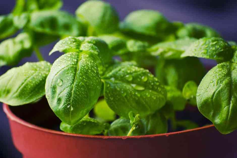 il basilico è una pianta abbastanza delicata: ha bisogno di sole sì, ma non troppo per evitare che si bruci. Ha bisogno di acqua sì, ma non troppa per evitare di creare marciumi nelle radici