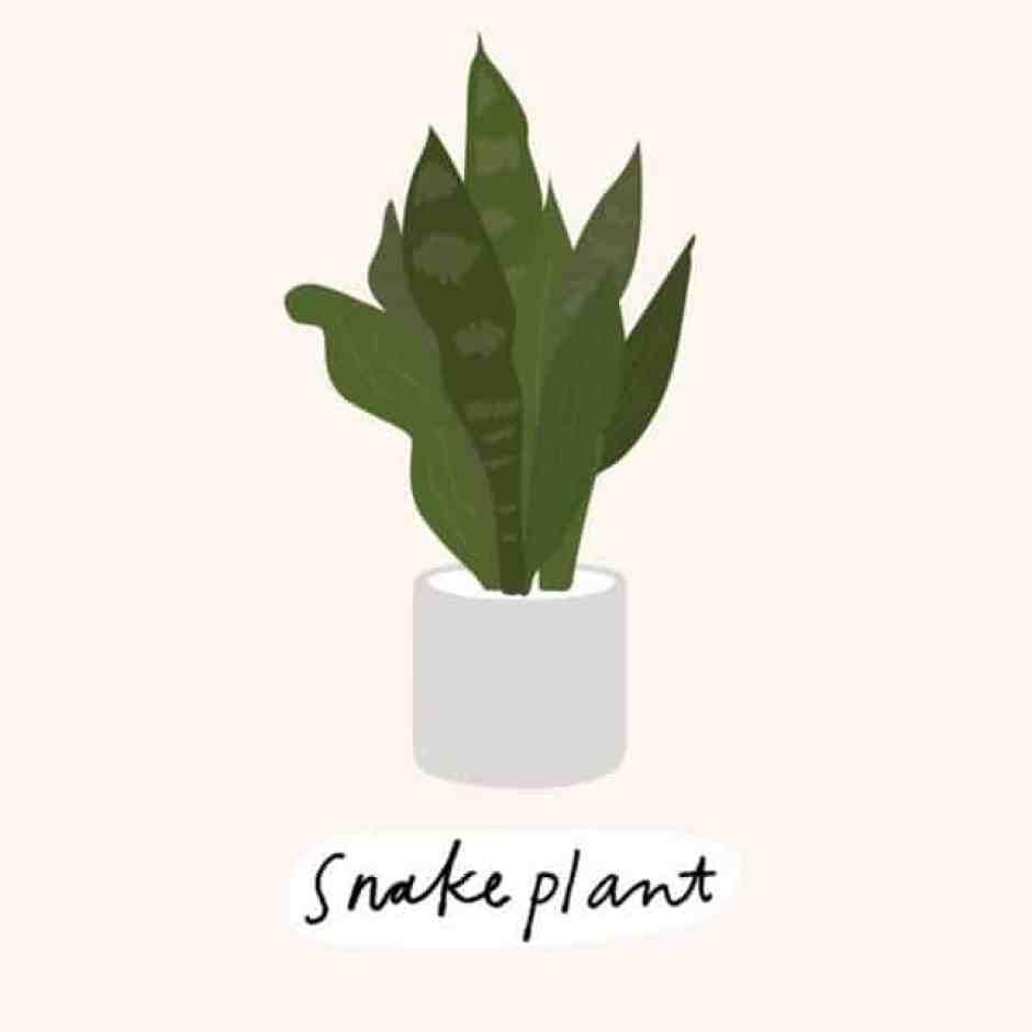 La lingua di suocera, una pianta perfetta per l'appartamento