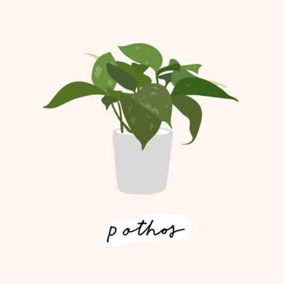 Pothos, una pianta resistente e di facile manutenzione