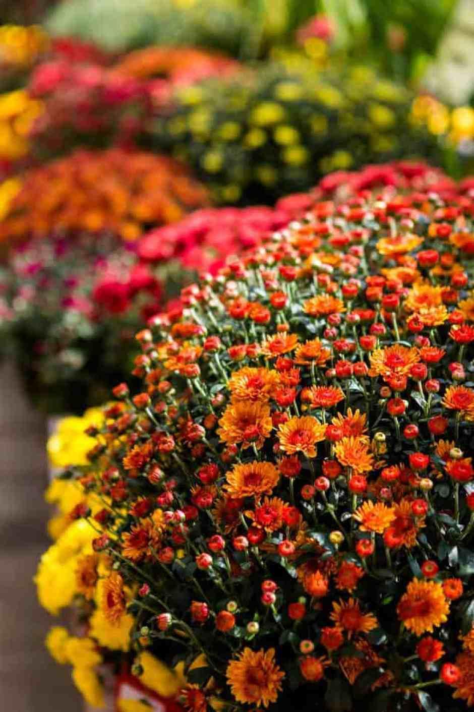 Crisantemi, i fiori autunnali