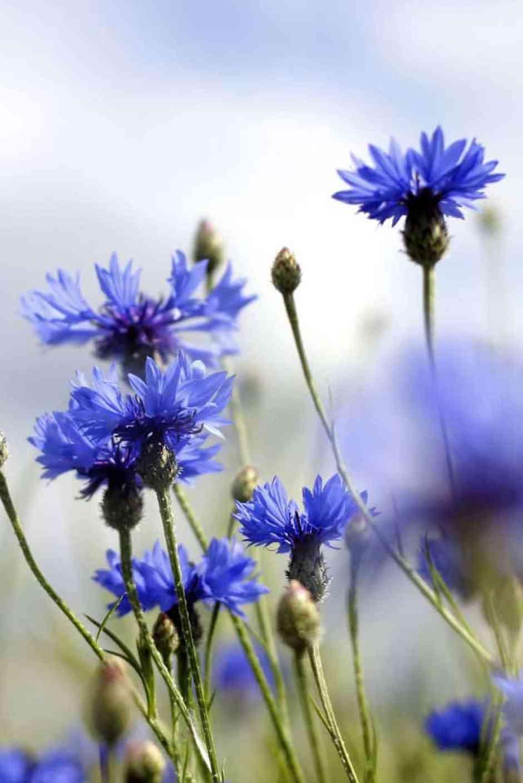 Fiordaliso, un fiore di colore blu acceso