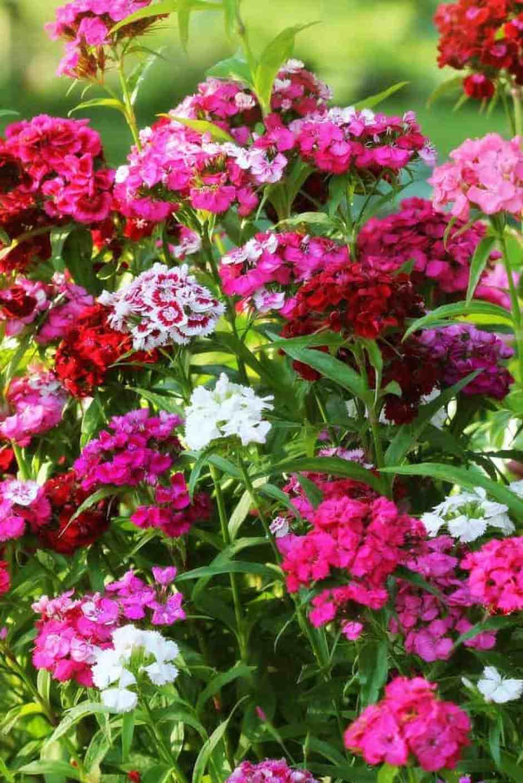 Dianthus, un fiore allegro e vivace
