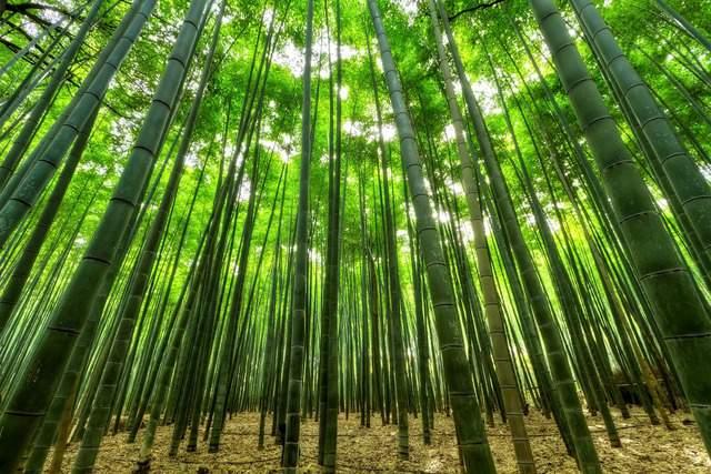 Come si coltiva il bambù: trucchi e segreti