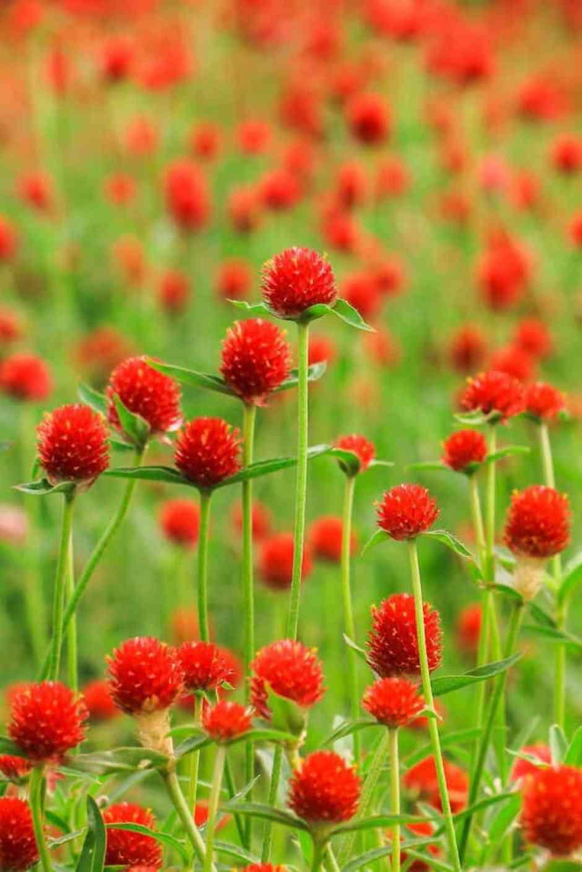 Gomphrena, il fiore che assomiglia alla fragola