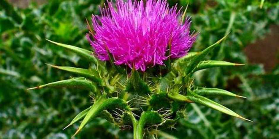 Cardo mariano, una pianta molto indicata per migliorare la funzionalità epatica e per le sue proprietà decongestionanti