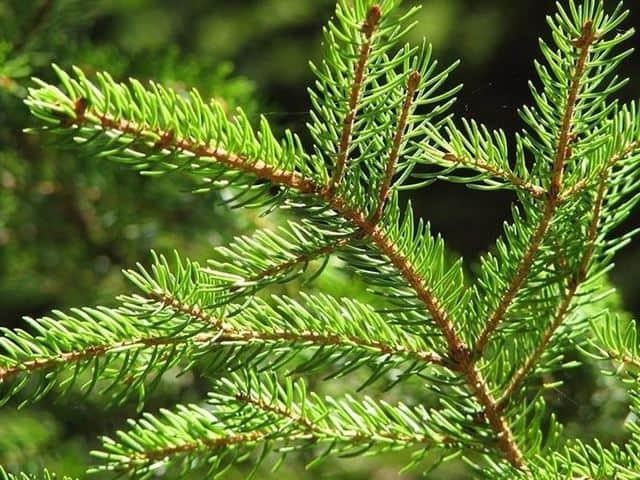 Abete di Natale con i caratteristici aghi di pino