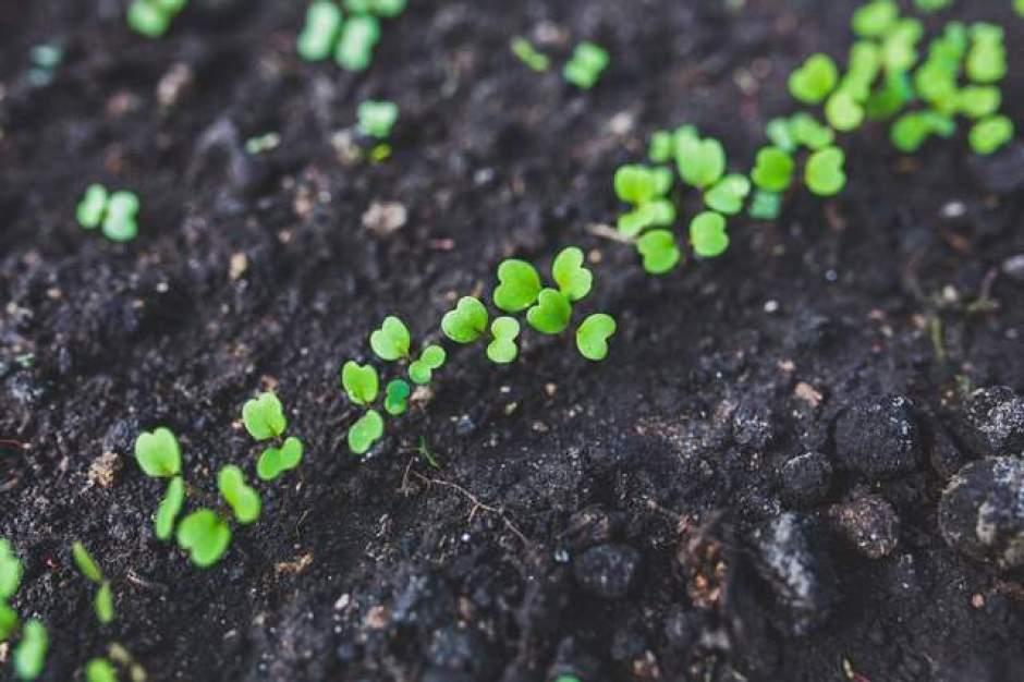 Piantine in crescita: fase iniziale