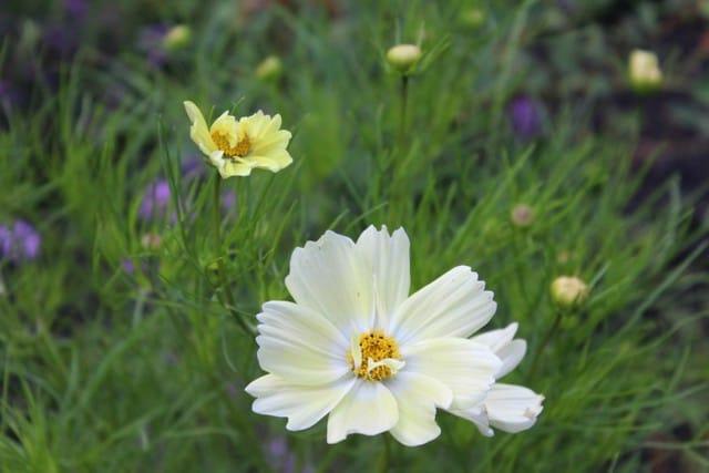Pianta annuale dai fiori di colore bianco e giallo