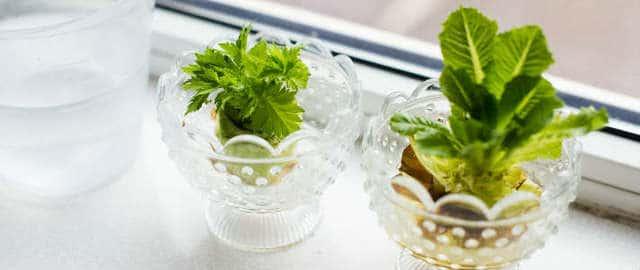 Sedano coltivato in bicchiere a partire dalle sue stesse radici.