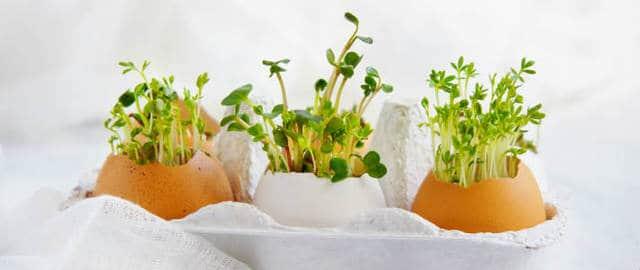 Semi di crescioni coltivati dentro i gusci delle uova.