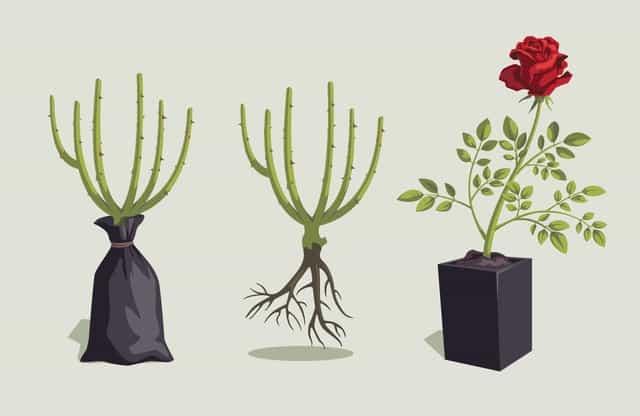 Coltivare le rose: tutti i consigli pratici