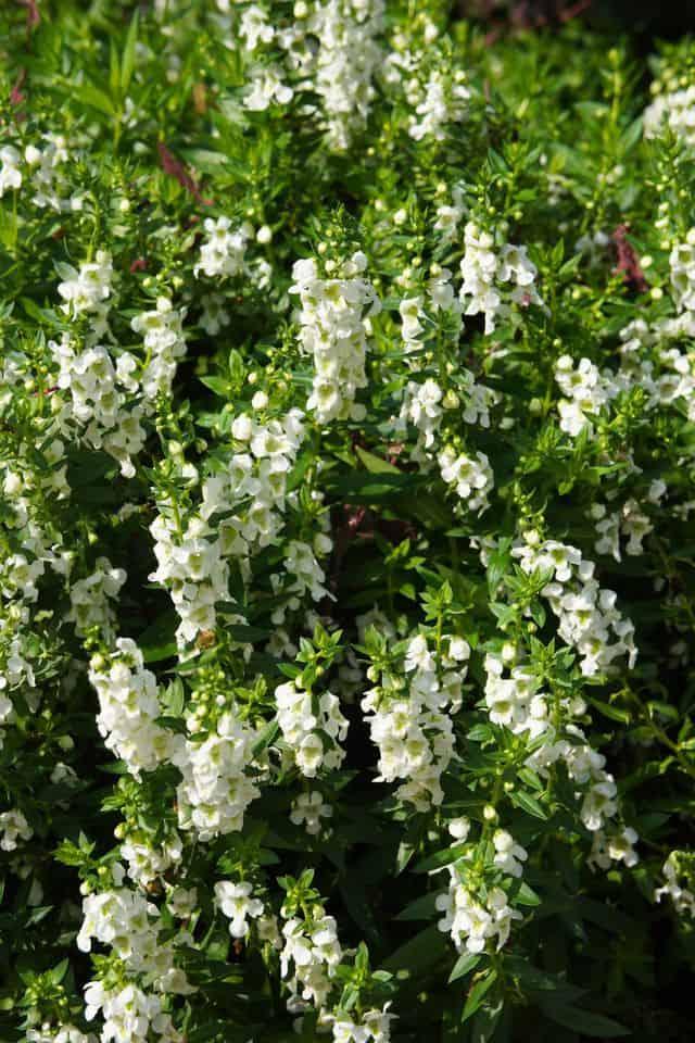 Angelonia, un bellissimo fiore bianco a cascata.