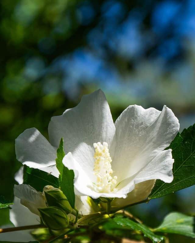 Rosa di Sharon, perfetta per decorare le siepi e gli spazi che si sviluppano in altezza.