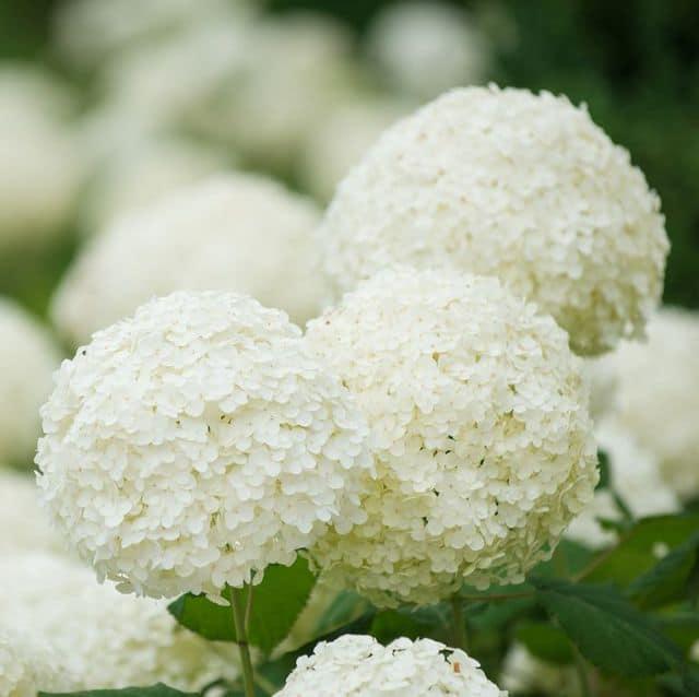 Ortensia, con i classici fiori a forma di palla.