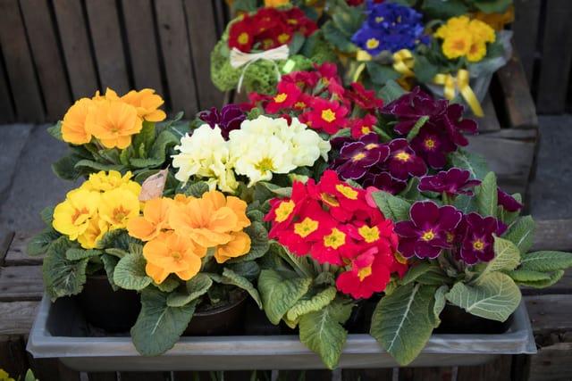 coltivare le primule: consigli ed errori da evitare