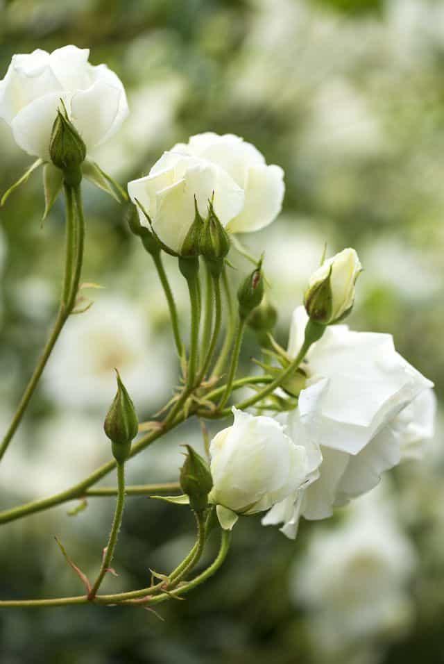 Rosa bianca, un grande classico semplice ed elegante.