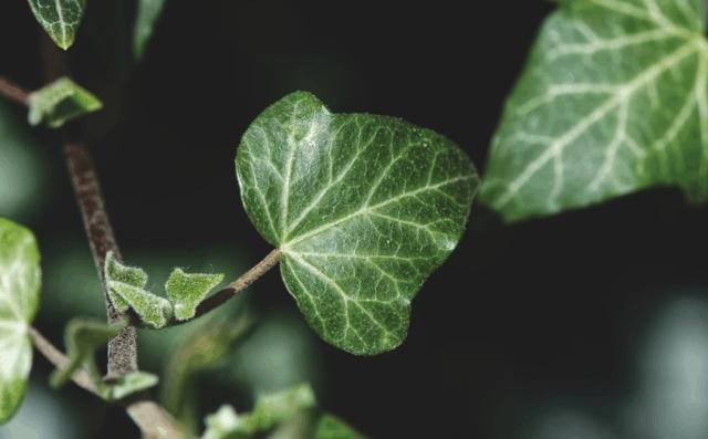 Le piante rampicanti sono piante legnose e perenni che possono strisciare sul terreno espandendosi in lunghezza.