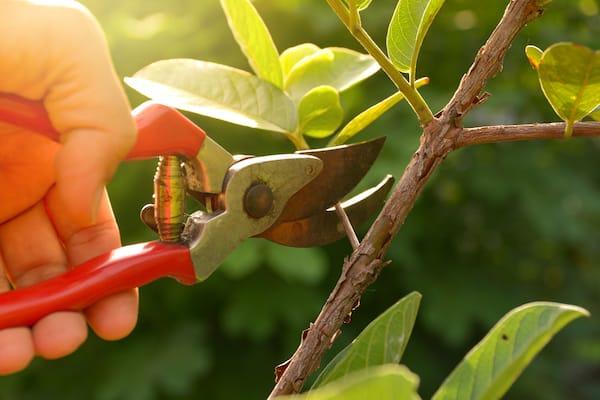 Comprendere le differenze tra potatura e auto-potatura è importante per capire come prendersi cura delle piante