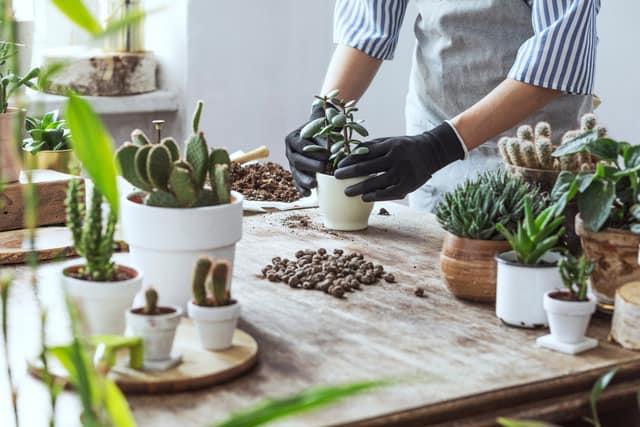Come rinvasare le piante grasse