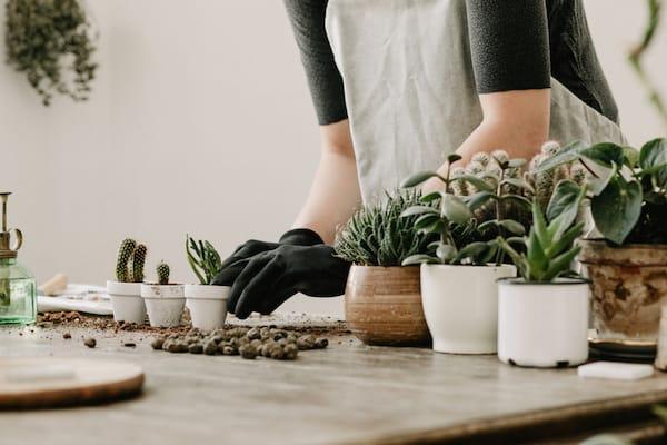 rinvasare le piante d'appartamento dopo l'inverno