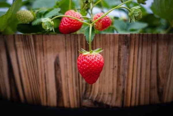 Come coltivare le fragole in contenitore