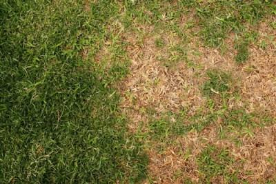 prato rovinato con alcune zone secche per mancanza di irrigazione