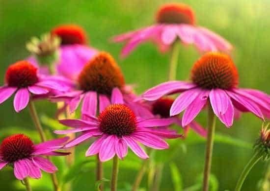 l'Echinacea resiste bene non solo agli scatti più freddi e agli insetti distruttivi del giardino, ma anche ai periodi di prolungata siccità