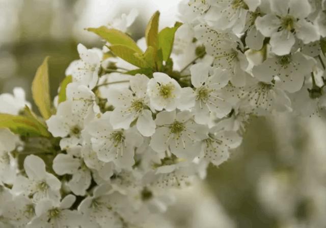 I fiori di ciliegio simboleggiano l'arrivo della primavera, la stagione dei fiori