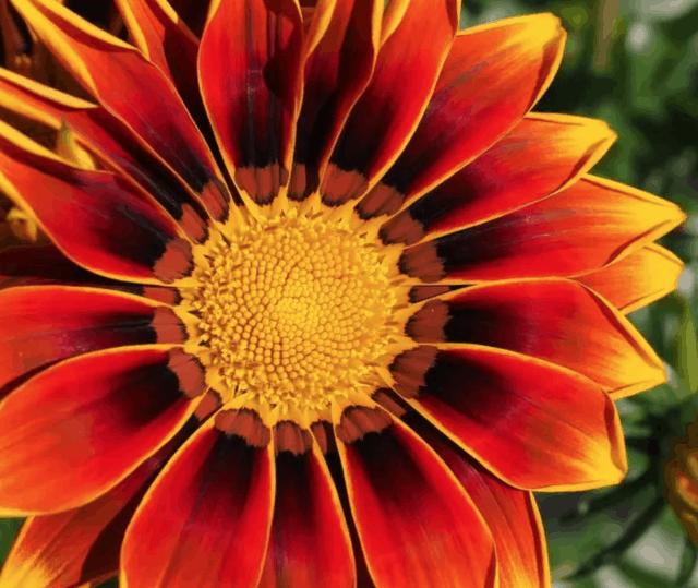 La Gazania è una bellissima margherita che sembra essere un fiore originario del Sudafrica