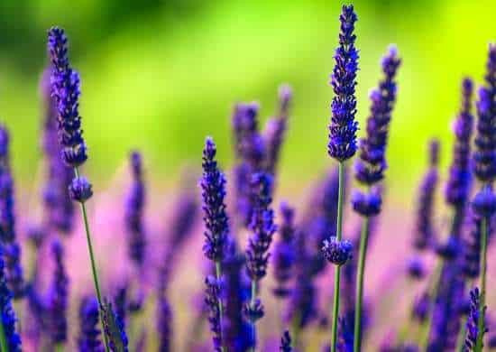 Amata per i suoi vibranti fiori viola e il suo profumo fresco e rilassante, la lavanda cresce bene in condizioni calde e secche simili a quelle della sua regione natale, l'area delMediterrane
