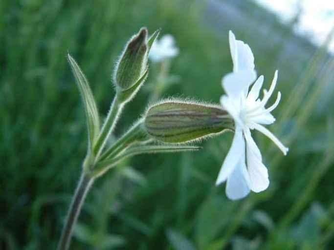 La Silene noctiflora ha un fiore e un frutto a palloncino che, secondo la leggenda, richiamavano la forma della pancia di Sileno, il compagno di avventure del dio Bacco