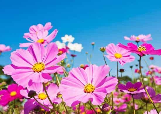 Cosmos: Fiore delicato con uno stelo sottile, resiste al calore, alla siccità e alle cattive condizioni del suolo