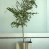 coltivazione di un albero in vaso