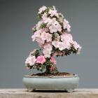 come coltivare il bonsai