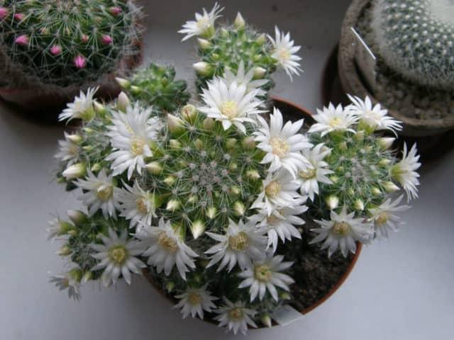 La Mammillaria zeilmanniana, una pianta grassa che resiste al freddo.