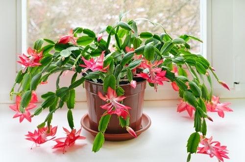 Il cactus di Natale, una pianta perfetta da regalare durante le feste.