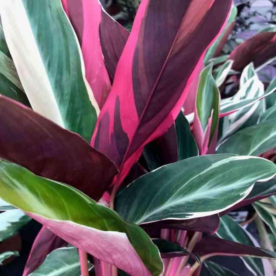 Calathea, una pianta dalle foglie colorate.