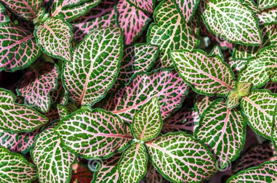 Fittonia albivenis, una pianta d'appartamento colorata
